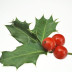 ilex aquaifolium