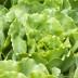 Lactuca Sativa